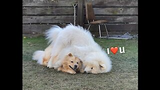 Samoyed really wants to cuddle with doggy buddy
