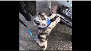 Aussie puppy helps push baby stroller