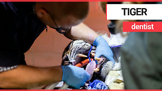 Brave dentist performs root canal on sleeping TIGER