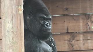 Grumpy Silverback Gorilla deals with super annoying son