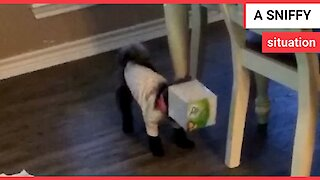 Puppy plays with box of tissues - gets head stuck box