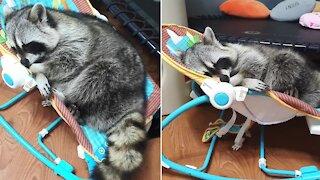 Drowsy raccoon slowly falls asleep in baby rocker