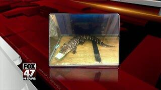 Jackson Animal Shelter finds pet gator