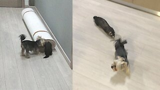 Ferret and Yorkie best friends play a game of tag