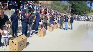 SOUTH AFRICA - Cape Town - Annual Penguin festival in Simons Town (VIDEO) (Nbn)