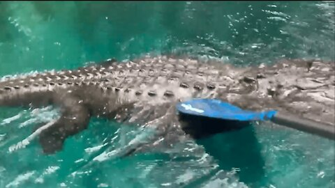 Woman Fends Off Alligator with Paddle