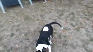 High energy dog can't stop doing zoomies