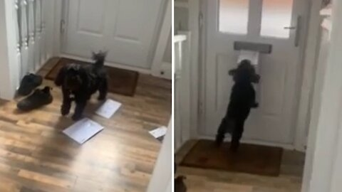 Puppy's reaction to mail being delivered is absolutely priceless