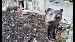 Relationship between the tapirs
