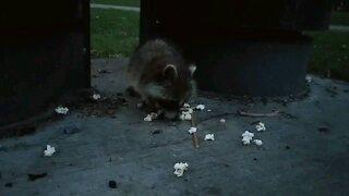 Cute little raccoon eating popcorn