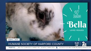 Bella the bunny is up for adoption at the Humane Society of Harford County