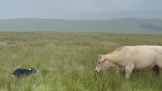 Courageous dog really wants to play with enormous cow
