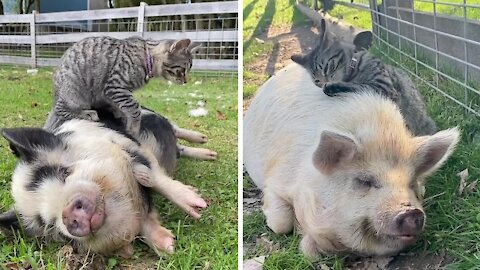 This adorable cat loves giving pigs massages