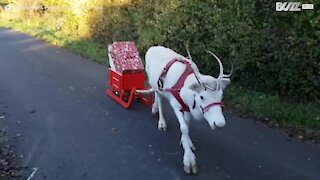 Un renne blanc apporte les cadeaux de Noël en Allemagne