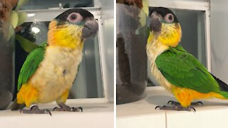 Baby parrot whistles and dances in the shower