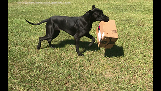 Funny Great Dane Loves to Play with Amazon Packages