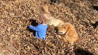Golden Retriever and kiddo play in pile of leaves