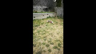 Yorkie playing soccer