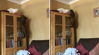 Clumsy Cat Tries To Cling On To Bookcase Before Falling To Floor