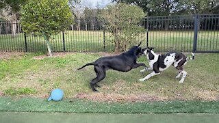 Great Danes hilariously go right from naptime to playtime