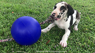 Great Dane Puppy Plays With Jolly Ball Rope Toy