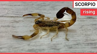 Family find scorpion they took back from Bali