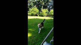 German Shepherd Loves Playing Fetch.