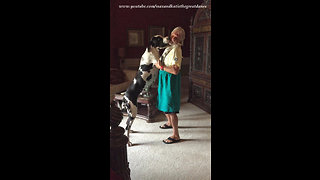 Funny Great Dane Puppy Loves to dance