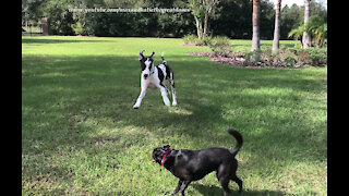Happy Great Danes And Friends Run First Zoomies At Their New Home