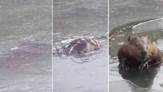 Ice-breaking beaver finds a snack to take home