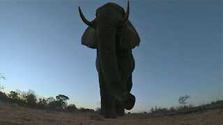 Incredible close up footage show elephant bull using his trunk to investigate hidden camera
