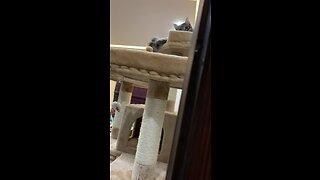 Funny cat stalks owner filming him
