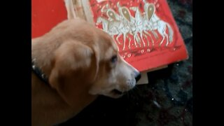 Puppy eating a book