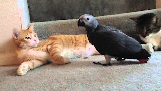 Parrot play with a Cat