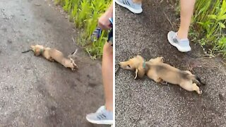 """Adorable puppy repeatedly """"sploots"""" during walk time"""