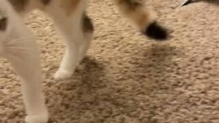 Person surprises cat with a cat stuffed animal, and the cat hates it
