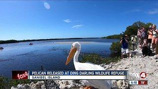 Rescued white pelican released on Sanibel