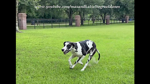 Galloping Great Danes Love To Leap Into The SUV