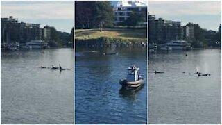 Orche invadono il porto di Victoria in Canada