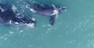 Fantastisk video av hvaler utenfor kysten av Sør-Afrika