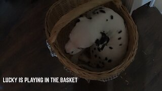 LUCKY IS PLAYING IN THE BASKET
