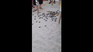 Baby Sea Turtles Begin Ocean Adventure