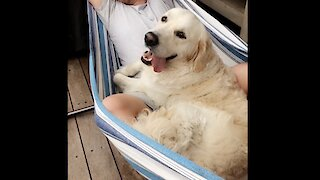 Golden Retriever's first 2 years of life documented in heart-warming clip