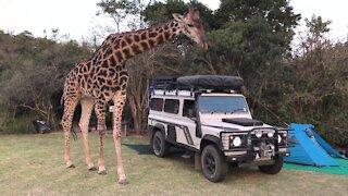 OMG!Big Giraffe Said hello Inside A Car
