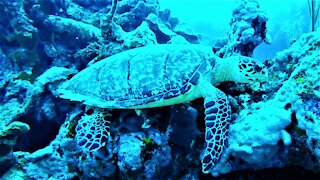Rare and endangered sea turtle calmly eats sponges as scuba diver watches
