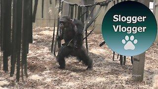 Noisy Hairless Chimp Enclosure