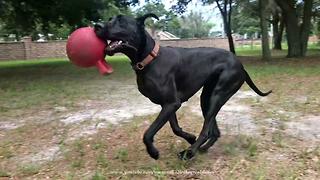Joyful Great Dane Loves Her Jolly Ball Toy