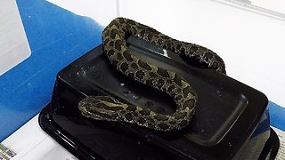 Wild rattlesnake receives ingenious treatment from veterinarian for facial infection