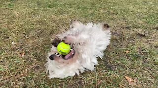 Puppy performs ninja rolls while playing with tennis ball