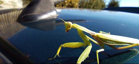 Very beautiful mantis caught on camera